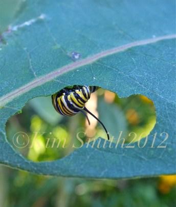 Monarch Caterpillar Common Milkweed ©Kim Smith 2012.J