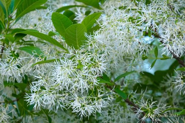 Fringetree Chionanthus virginicus  Gloucester MA -2 ©Kim Smith 2014