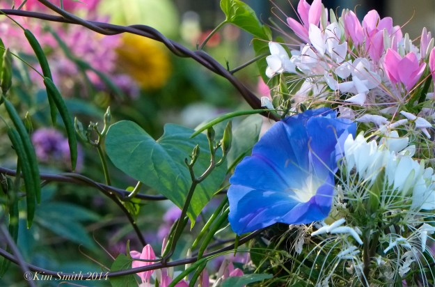 Cleome & Morning Glories Pathways for children ©Kim Smith 2014