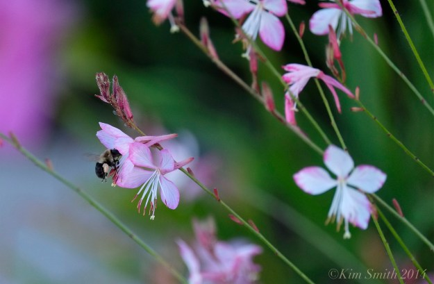 Gaura llindheimeri ©kim Smith 2014