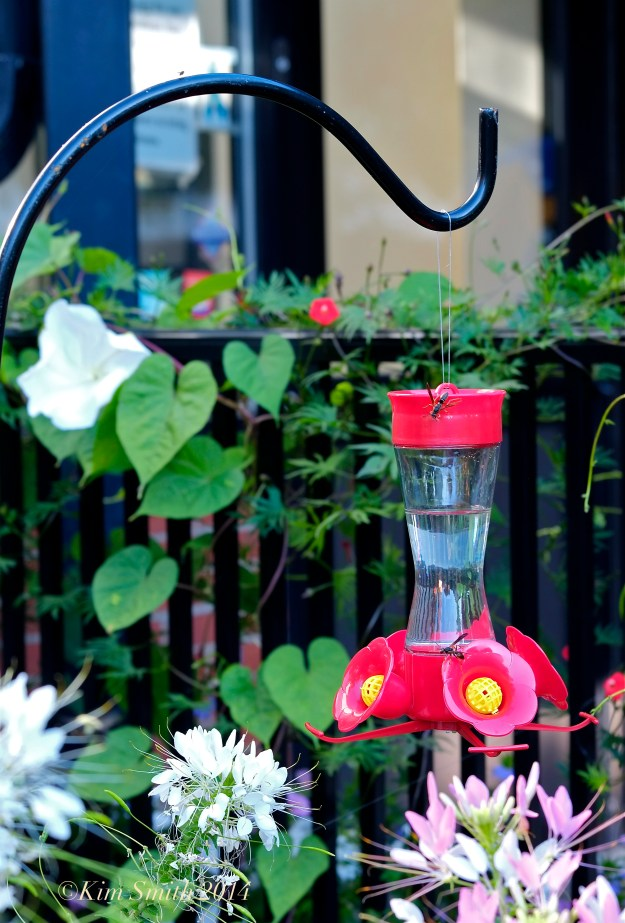 Hummingbird Feeder ©Kim Smith 2014 copy