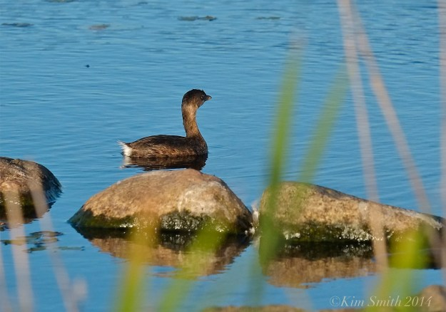 Pied-billed Grebe Massachusetts -2 ©kim Smith 2014