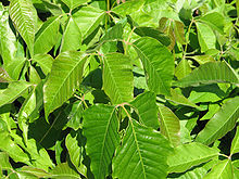 220px-Toxicodendron_radicans,_leaves