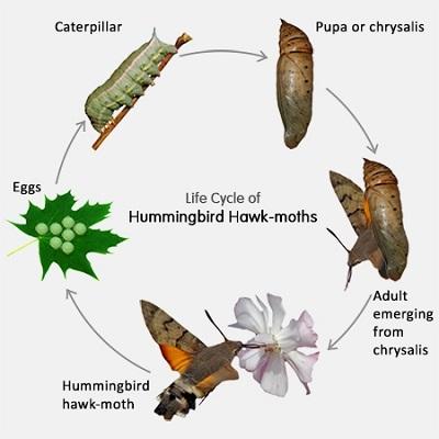 Hummingbird-Hawk-Moth-Life-Cycle