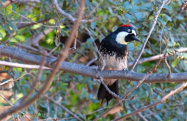 Acorn Woodpecker Solstice Canyon Southern California -2 ©Kim Smith 2015