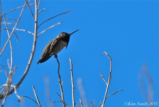 Black-chinned hummingbird Goleta Santa Barbara ©Kim Smith 2015