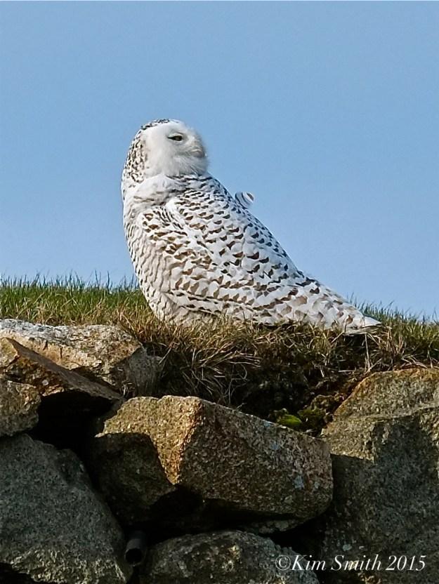 Snowy Owl Gloucester Massachusetts January ©2015 Kim Smith