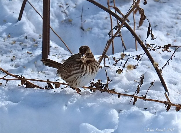 Song Sparrow ©Kim Smith 2015