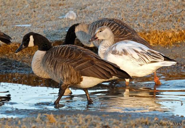Snow Goose Juvenile Gloucester Massachusetts Cnadian Geese ©Kim Smith 2015