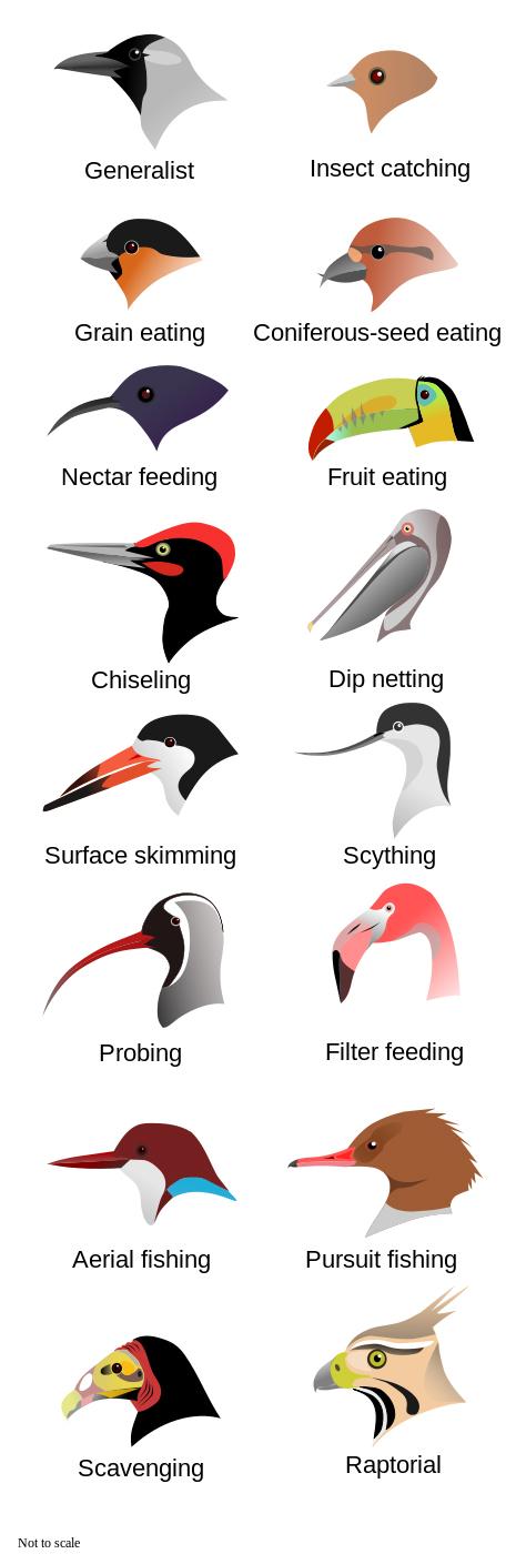 Wiki Bird Beak Graphic copy