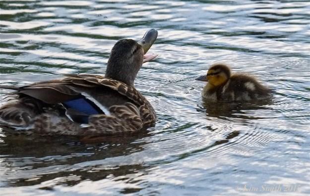 Mallard female Duckling ©Kim Smith 2015