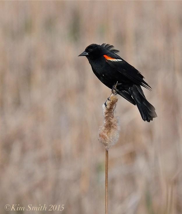 Male Red-winged Blackbird Massachusetts-6  ©Kim Smith 2015