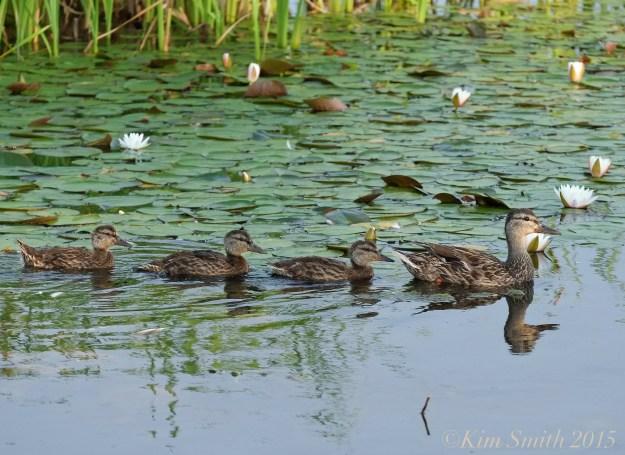 Niles Pond Ducklings -2 ©Kim Smith 2015