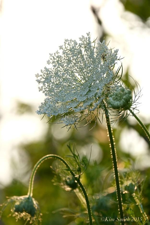 Queen Annes's Lace -4 ©Kim smith 2015