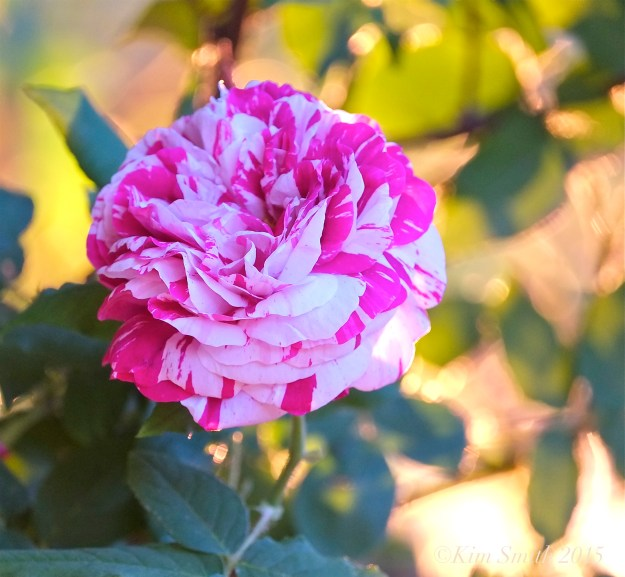 Bourbon Rose 'Variegata di Bologna' ©Kim Smith 2015
