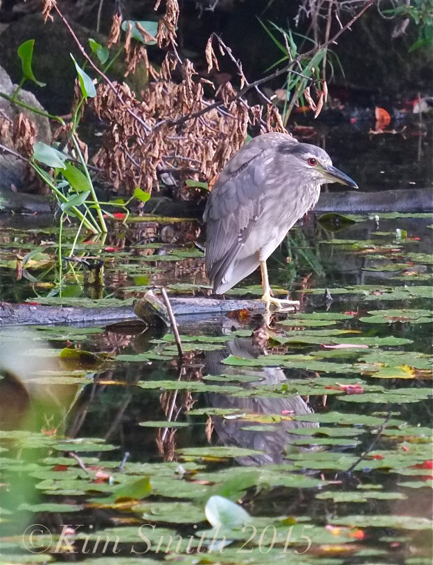 Juvenile Black Crowned Night heron ©Kim Smith 2015