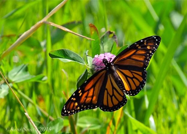 Monarch Butterfly Female -3 ©Kim Smith 2015