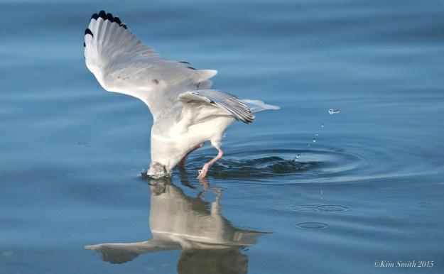 Bonaparte's Gull Diving ©Kim Smith 2015
