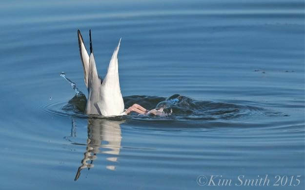 Bonaparte's Gull diving Gloucester ©Kim Smith 2015