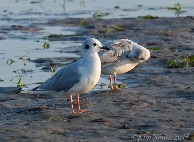 Bonaparte's Gulls Massachusetts -4 ©Kim Smith 2015