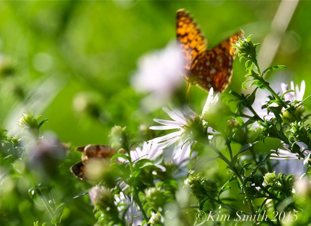 Pearl Crescent Butterflies -5 ©Kim Smith 2015