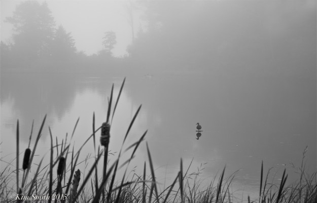Clark Pond duck fog ©Kim Smith 2015