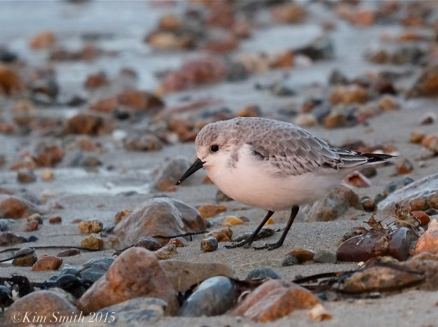 Sanderling Dennis Cape Cod ©Kim Smith 2015