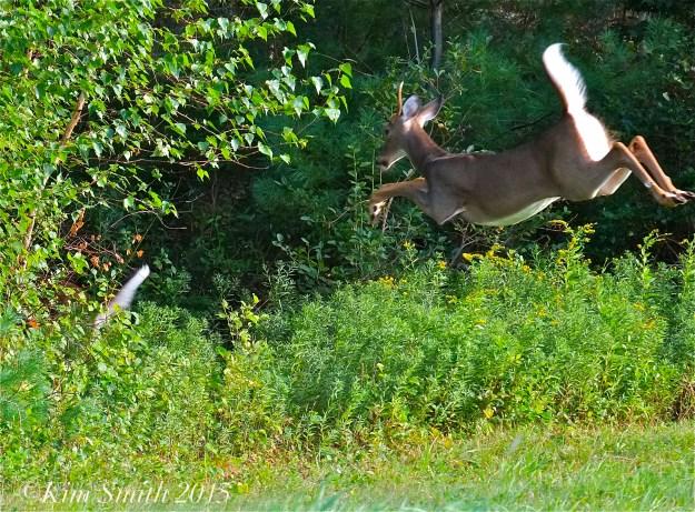 White-tailed Deer ©Kim Smith 2015