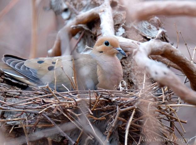 Mourning Dove Female Building nest Cape Ann Kim Smith Designs.com