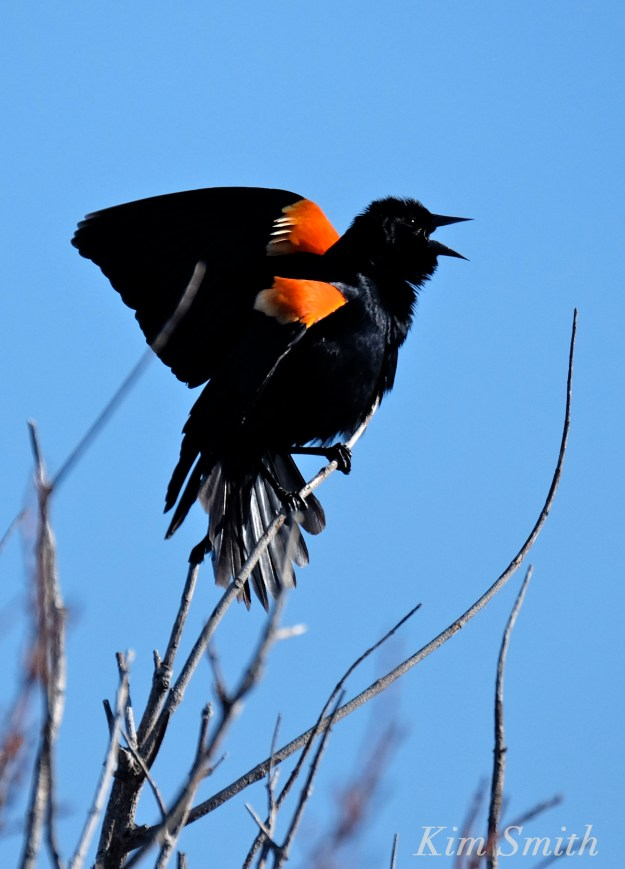 Red-winged Blackbird male Rockport MA Kim Smith 2016