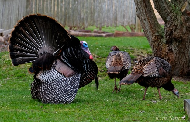 Wild Turkey male female Tom pea Courtship display -2 Kim Smith 2016