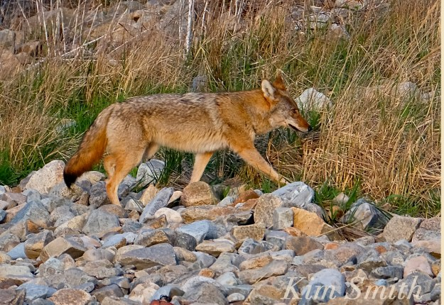 Eastern Coyote massachusetts beach Canis latrans Kim Smith