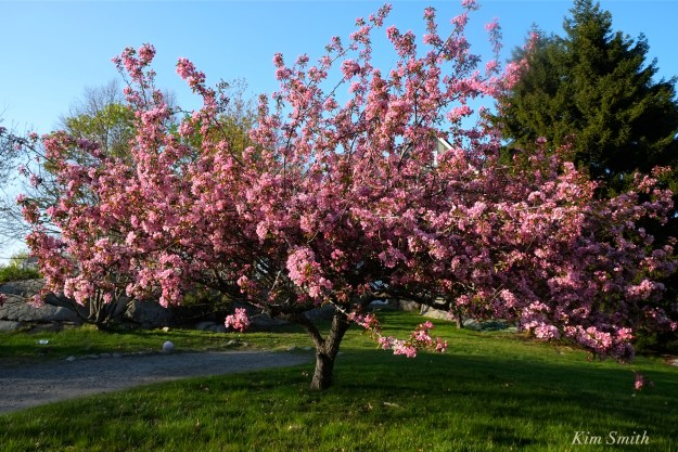 pink flowering crabapple tree copyright Kim Smith