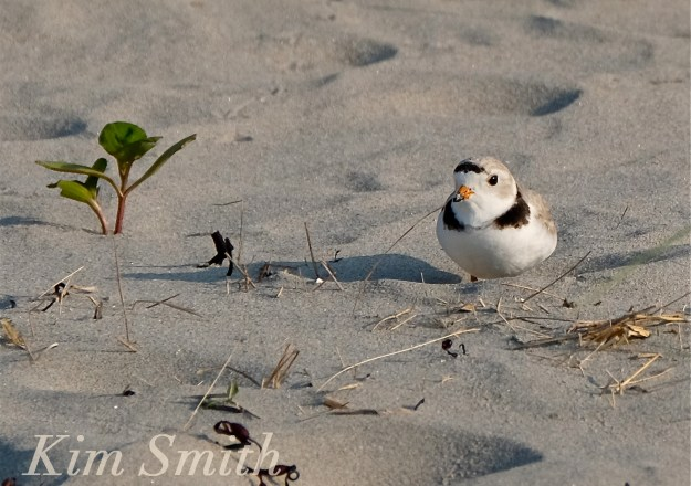 PIPING PLOVERS NESTING 2 GOOD HARBOR BEACH GLOUCESTER COPYRIGHT KIM SMITH