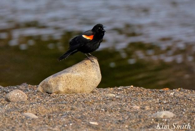Red-winged Blackbird Gloucester Massachusetts Kim Smith