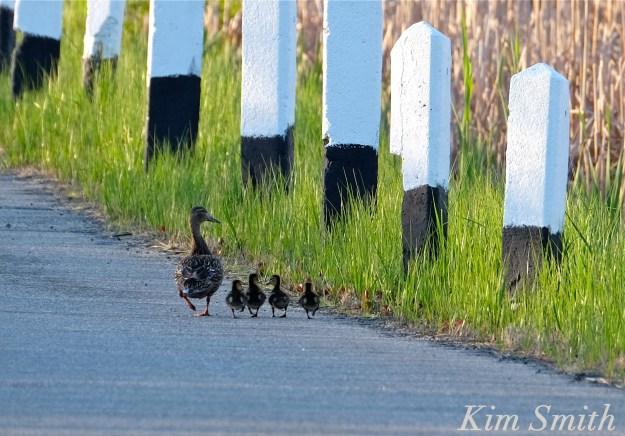 Female mallard ducklings copyright Kim Smith