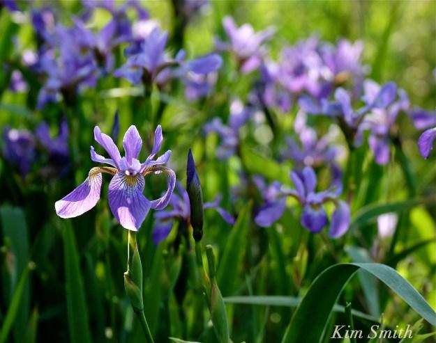 Iris versicolor -2 copyright 2016