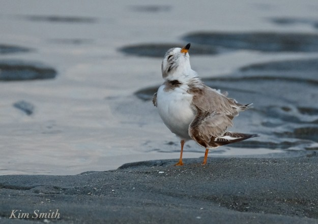 Piping Plover good Harbor Beach Gloucester MA copyright Kim Smith
