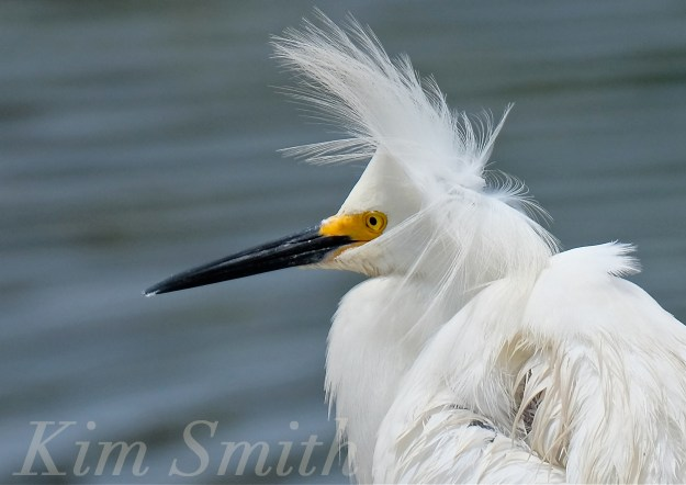 Snowy Egret Egretta thula -14copyright Kim Smith