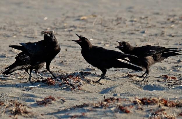 Crow battle copyright Kim Smith