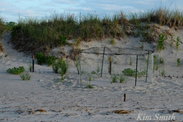 Piping Plovers nesting -4 Gloucester MA copyright Kim Smith
