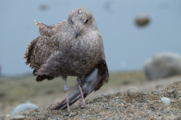 injured-gull-copyright-kim-smith3