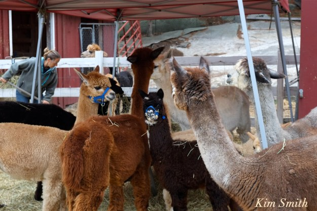 angies-alpaca-gloucester-marshalls-angela-copyright-kim-smith