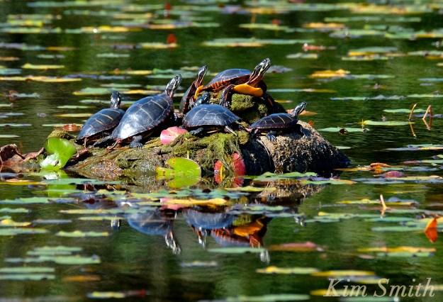 painted-turtles-niles-pond-gloucester-copyright-kim-smith
