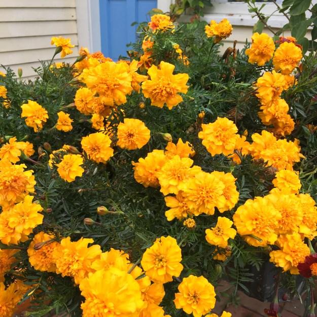 marigolds-flor-de-muerto-copyright-kim-smith