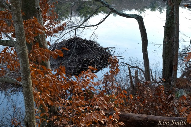 beaver-lodge-beaver-langsford-pond-gloucester-ma-copyright-kim-smith