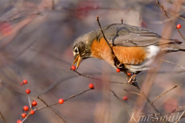 christmas-robin-winterberry-copyright-kim-smith