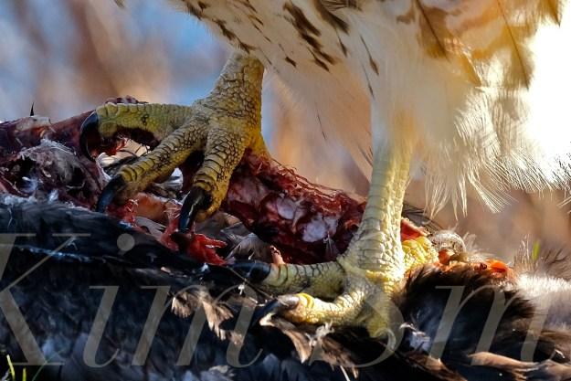 red-tailed-hawk-eating-prey-gloucester-massachusetts-23-copyright-kim-smith