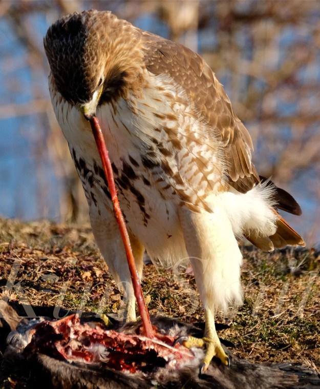 red-tailed-hawk-eating-prey-gloucester-massachusetts-4-copyright-kim-smith