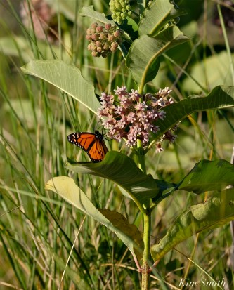 Common Milkweed Monarch Butterfly Good Harbor Beach copyright Kim Smith